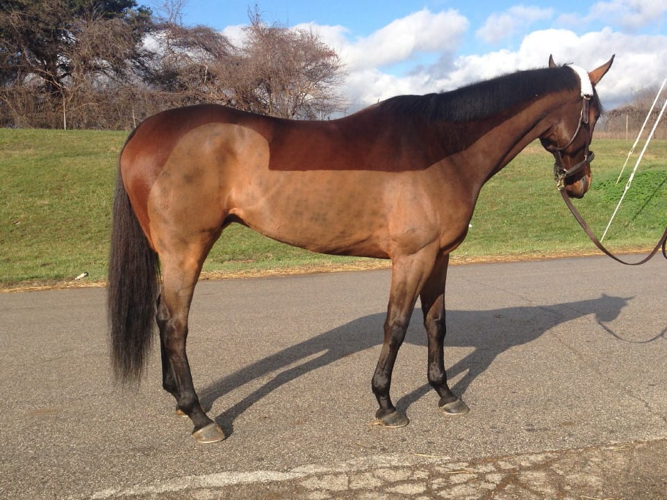 Big Cheese - Thoroughbred Gelding For Sale