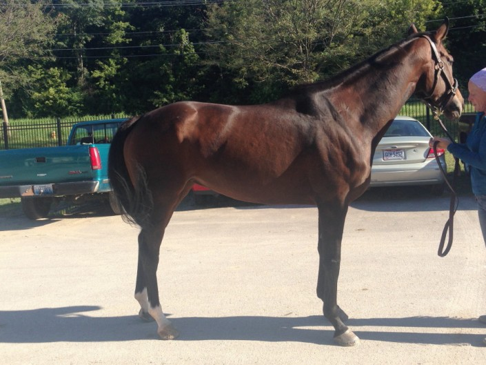 """""""Gal"""" - Thoroughbred Mare For Sale"""