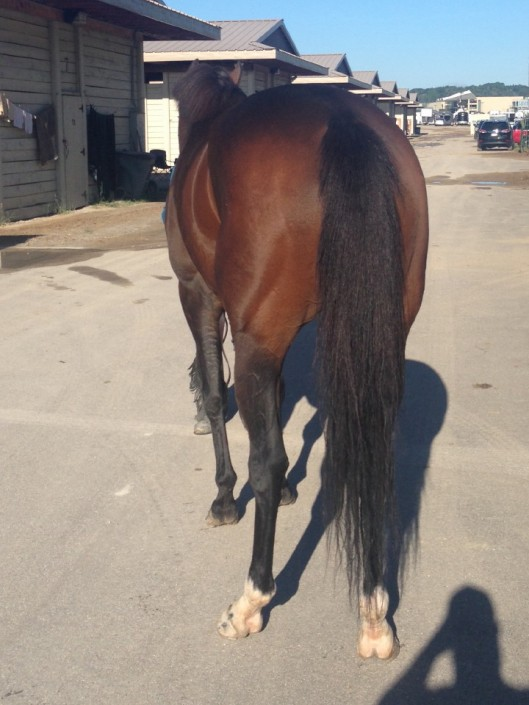 """Gal"" - Thoroughbred Mare For Sale"