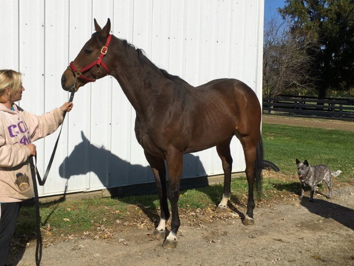 """Jazzie"" - Thoroughbred Gelding For Sale"