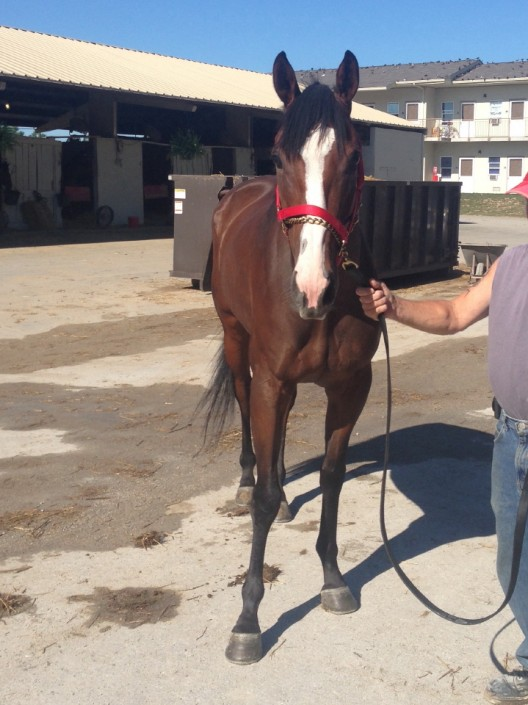 """Max"" - Thoroughbred Gelding For Sale"