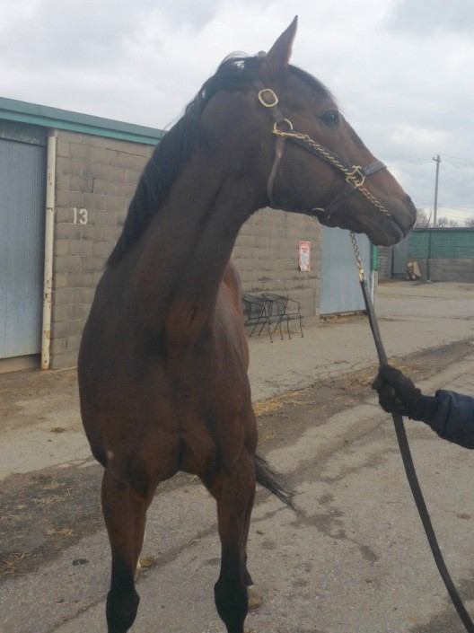 """Talker"" - 17 hand bay Thoroughbred gelding for sale"