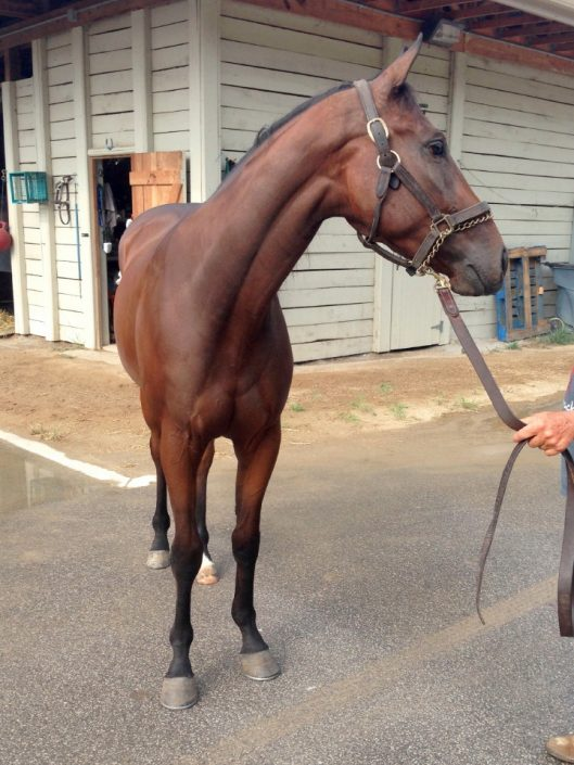 """Finn"" - Young Thoroughbred gelding for sale from BitsandBytesFarm"