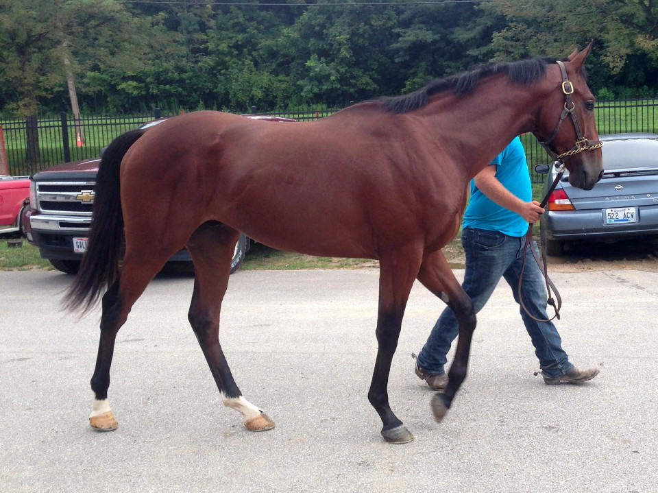 """Peanut Butter"" - two yo bay Thoroughbred gelding for sale"