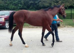 """""""Peanut Butter"""" - 2 Year-old Bay Thoroughbred Gelding For Sale"""