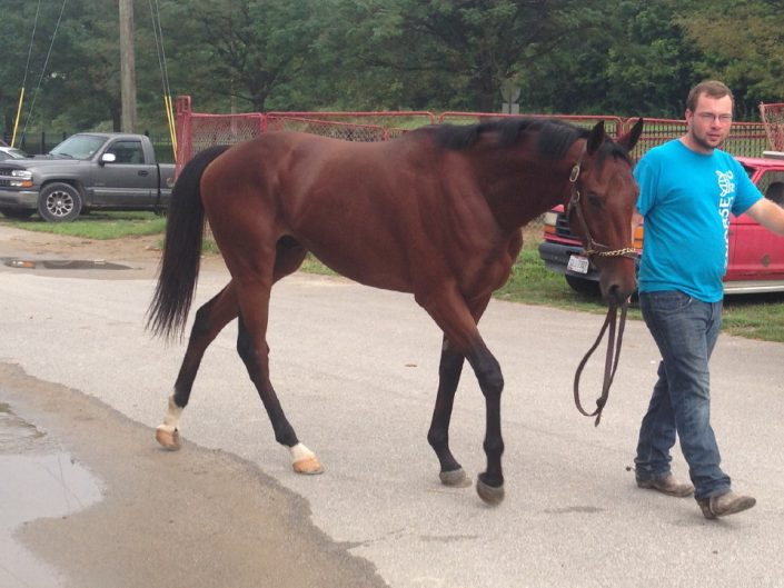 """Peanut Butter"" - 2 Year-old Bay Thoroughbred Gelding For Sale"