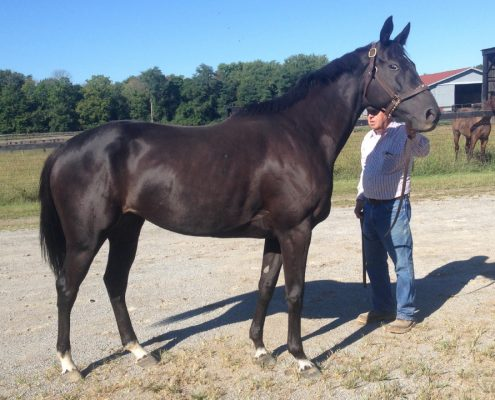 Large Black Thoroughbred Mare For Sale