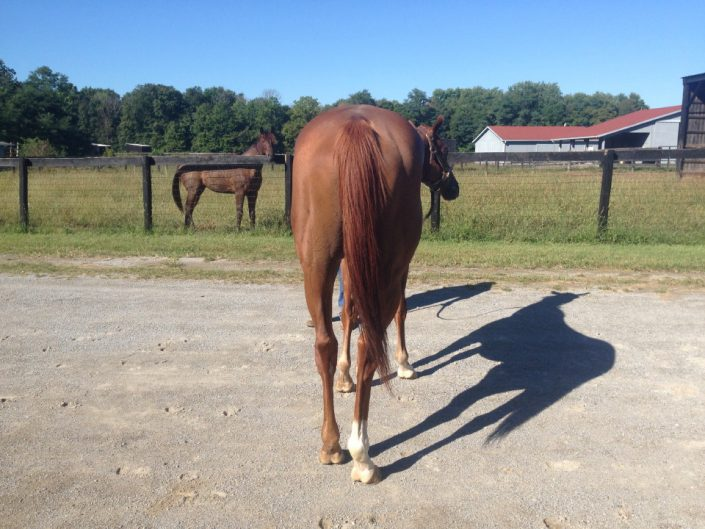 """Brett"" is a 2012 16+hh Thoroughbred horse for sale from Bits & Bytes Farm"