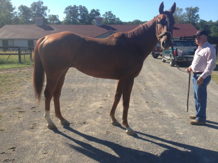 """""""Brett"""" is a 2012 16+hh Thoroughbred horse for sale from Bits & Bytes Farm"""