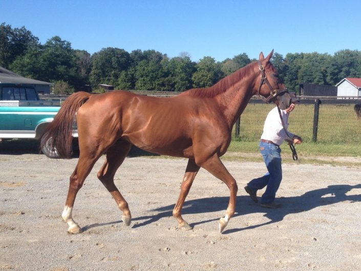 """""""Brett"""" is a 2012, 16+ hand chestnut Thoroughbred gelding for sale. He has been quite successful in his racing career but does not run well on the Polytrack so his owners feel it is the right time to find him a new career. They want a forever home where he can be loved and enjoyed as much as they love him. He is laid back, vice free and great to ride on the track. He over tracks while walking and trotting. He is a big mover. He ships, cross ties, single ties and is up-to-date on everything. """"Brett"""" could go in any direction once he is off-the-track. He has the potential to be a very nice hunt horse, event horse, or even a dressage horse."""