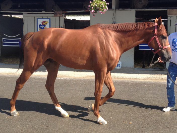 """Cuz"" - 16.3 hand Chestnut Thoroughbred Horse For Sale"
