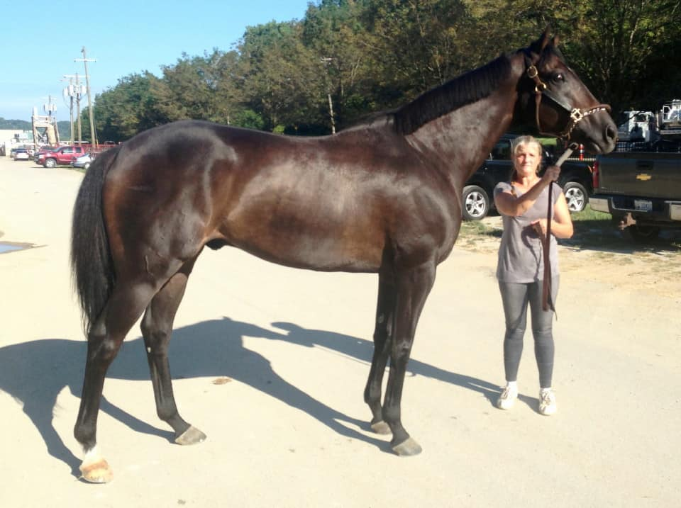 """Dew"" Thoroughbred horse for sale direct from the track"
