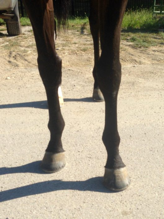 """""""Dew"""" Thoroughbred horse for sale direct from the track"""