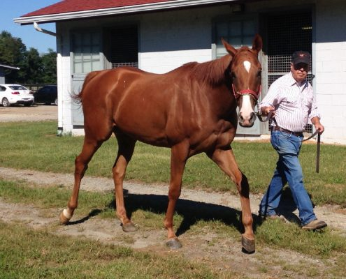 """Gus"" is a 2013 16hh Thoroughbred horse for sale from Bits & Bytes Farm"