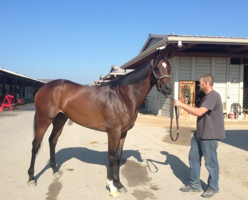 """""""Magic"""" - Thoroughbred mare for sale from Bits & Bytes Farm"""