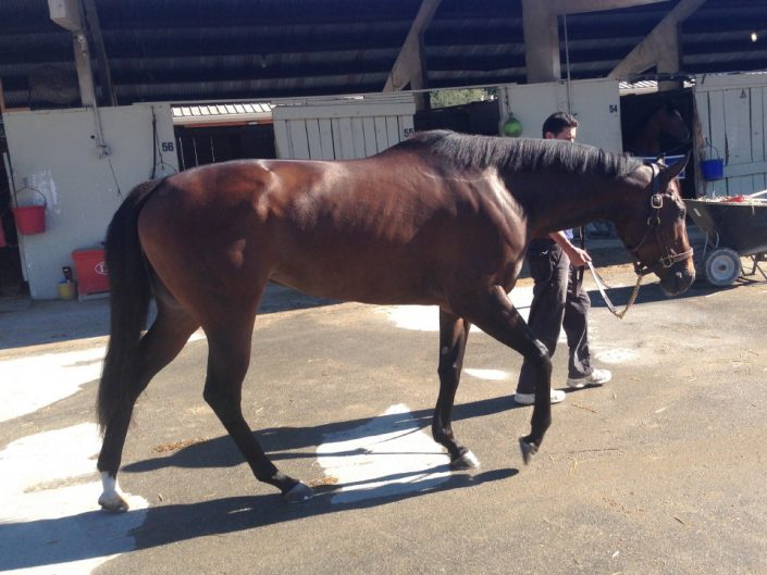 """""""Margarita"""" - 2013 bay Thoroughbred Filly For Sale"""