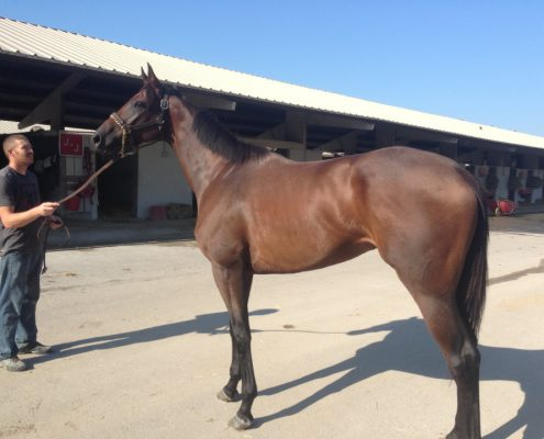 thoroughbred-horse-for-sale-zip_20160907_003