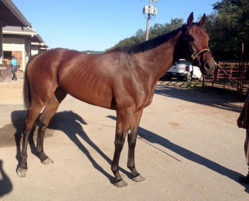 """Warrior"" - Thoroughbred horse for sale from Bits & Bytes Farm"