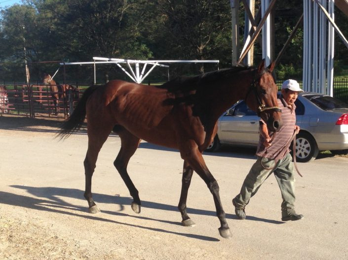 """""""Warrior"""" - Thoroughbred horse for sale from Bits & Bytes Farm"""