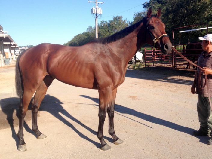 """Warrior"" - Thoroughbred Horse For Sale"