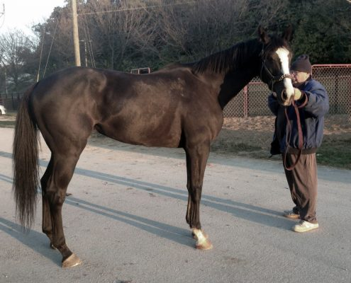 """Archie"" - 2012, 16.3+ hand dark bay/black Thoroughbred Gelding"