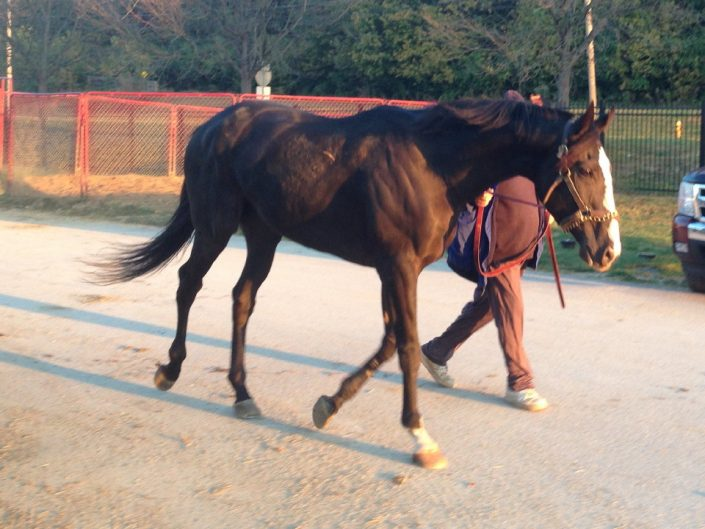 """Archie"" 16.3+ hh black Thoroughbred Gelding for sale"
