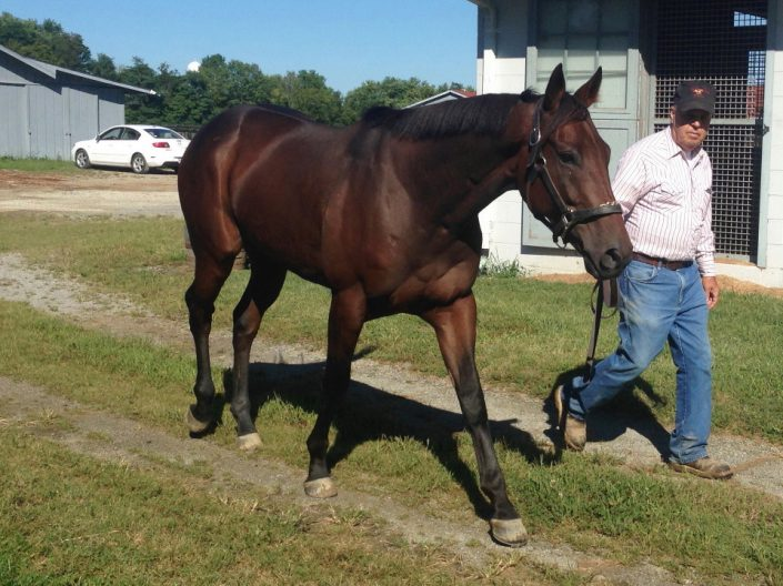 """Secret"" - 2012, 15.2 Hand Bay Thoroughbred Gelding For Sale"