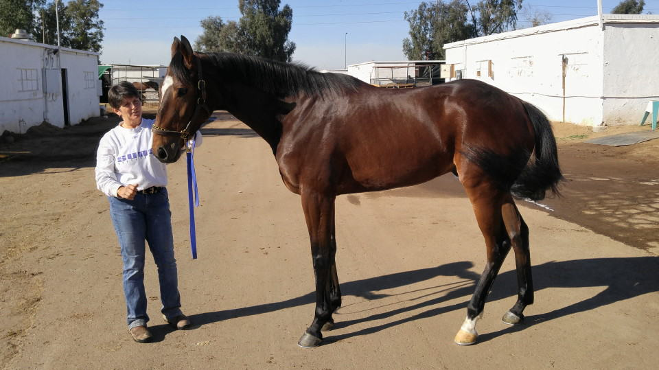 """Heart"" is a 2103 bay Thoroughbred gelding for sale from Bits & Bytes Farm"