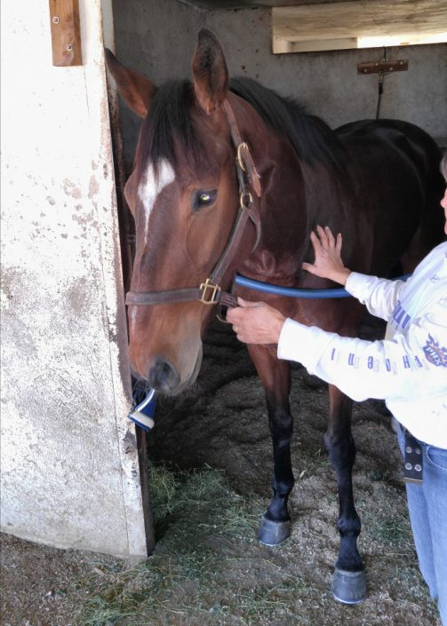 """""""Heart"""" is a 2103 bay Thoroughbred gelding for sale from Bits & Bytes Farm"""
