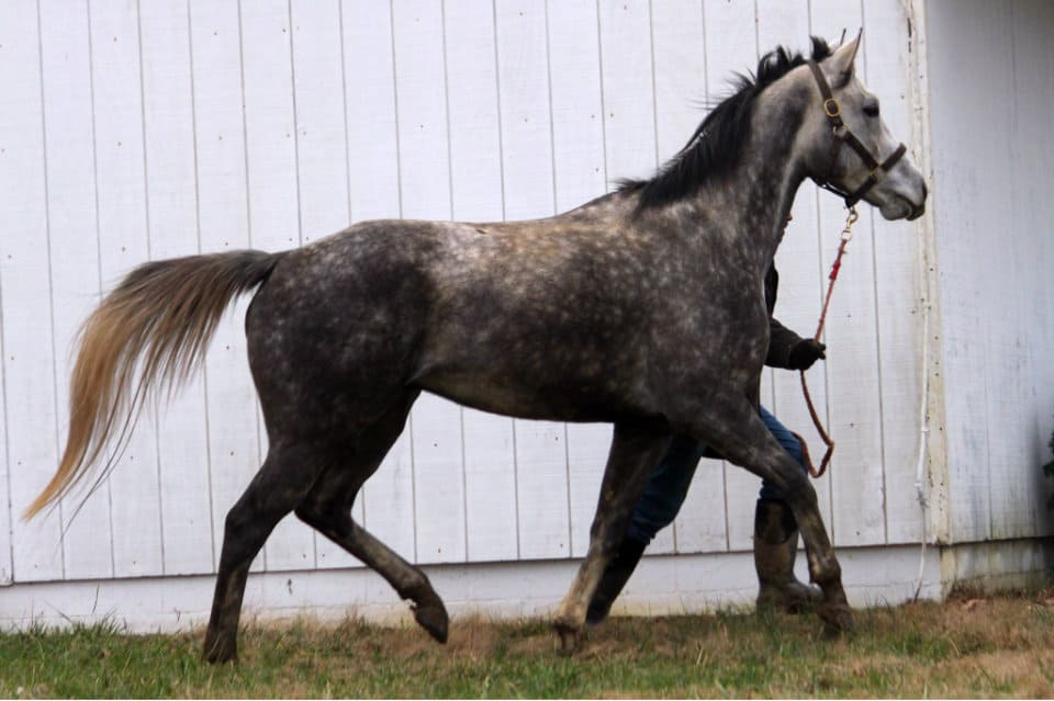 Steel Gaze - Dappled Grey Thoroughbred Horse for Sale
