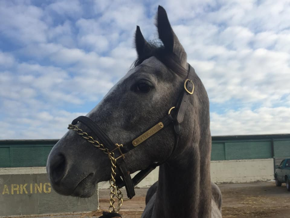 """""""Lipstick"""" - Dappled grey filly for sale from Bits & Bytes Farm"""