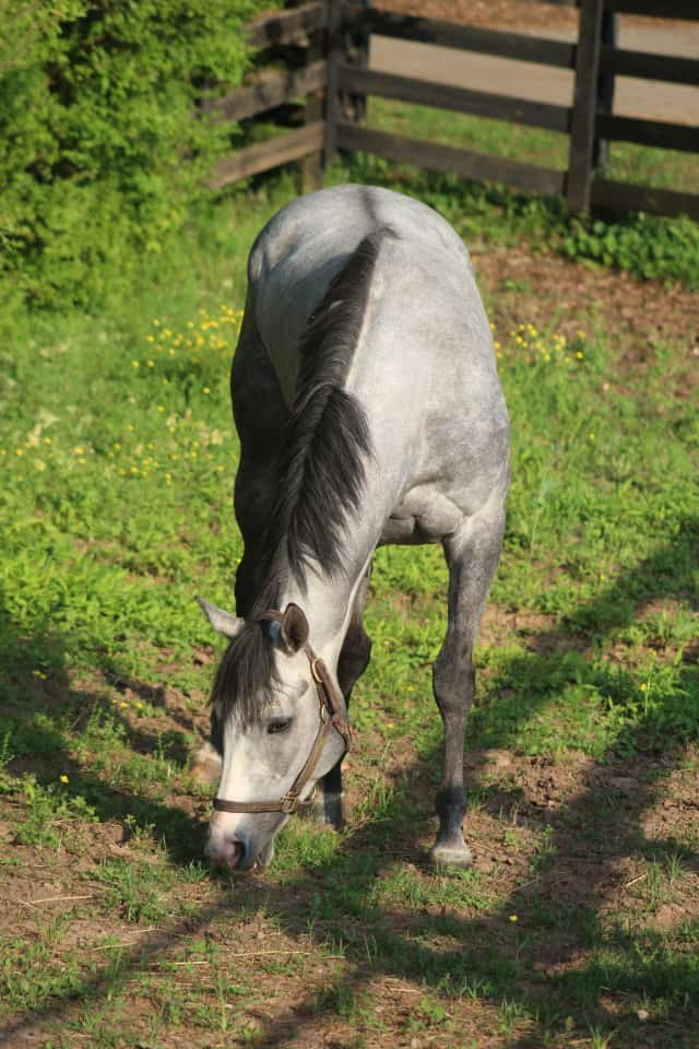 """""""Misty"""" - Dappled Gray Thoroughbred For Sale"""