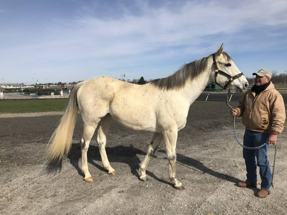 Dr. Fred - Gray Thoroughbred Horse For Sale - Bits & Bytes Farm