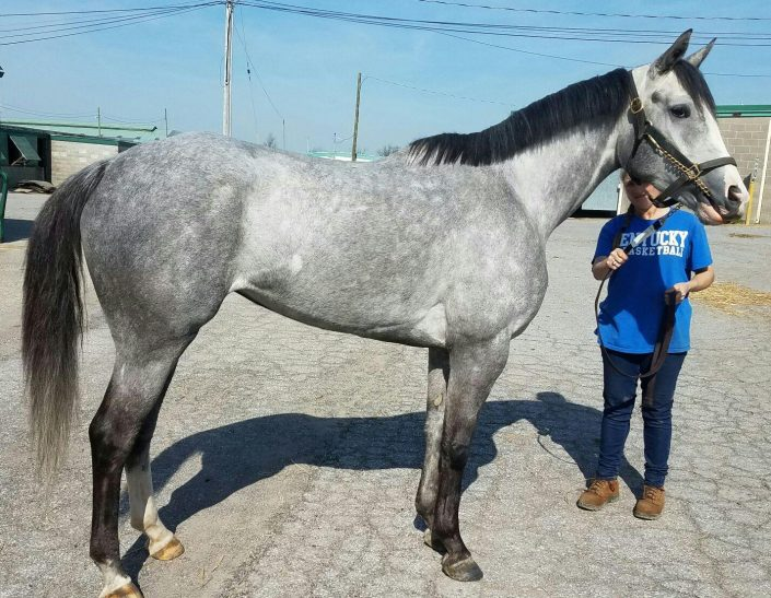 """Misty"" - Dappled Gray Thoroughbred For Sale"