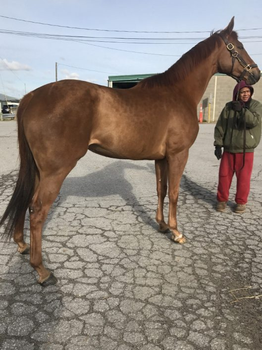 16 hand chestnut Thoroughbred mare for sale