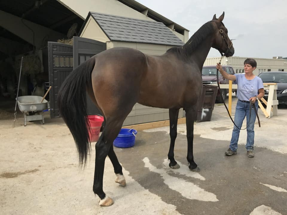 Paradise High - 16.2+ hand bay Thoroughbred Gelding for sale from Bits & Bytes Farm