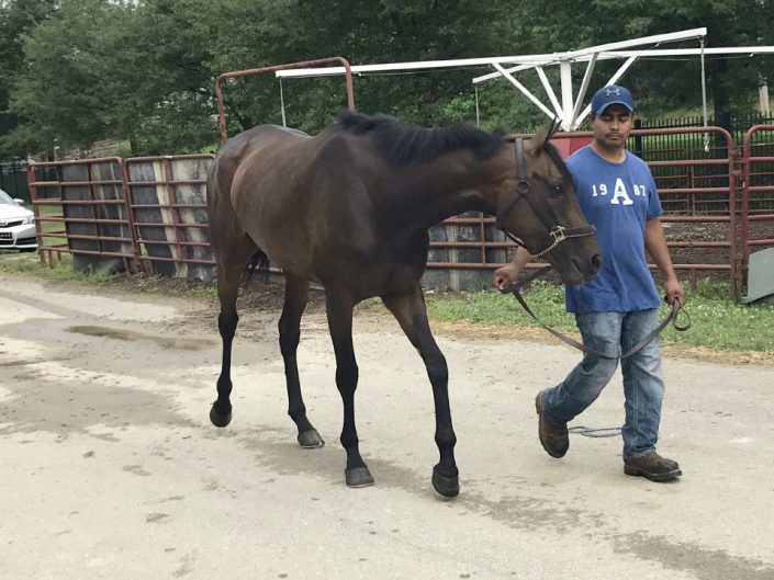 Cape - 16 hand Thoroughbred Filly For Sale