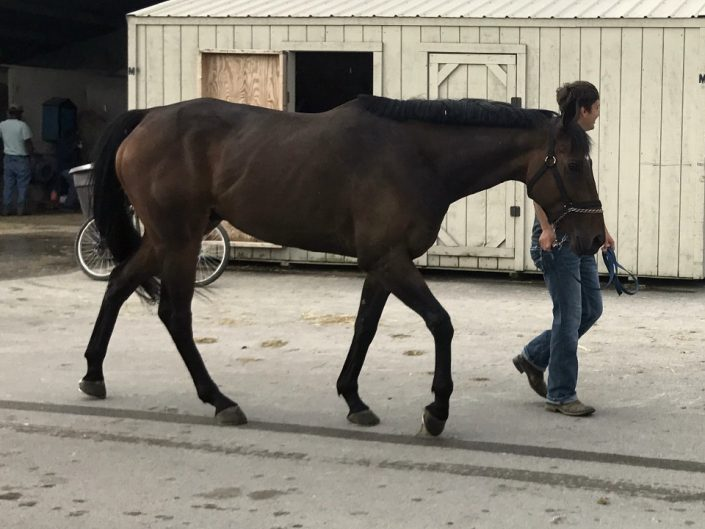 """""""Guy"""" - 16.2 hh Thoroughbred Gelding For Sale"""