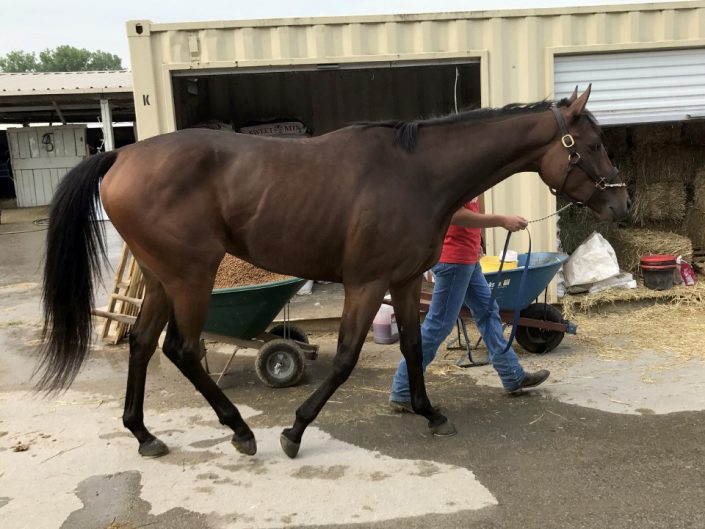 """""""Moose"""" - 2013 Thoroughbred Horse For Sale"""