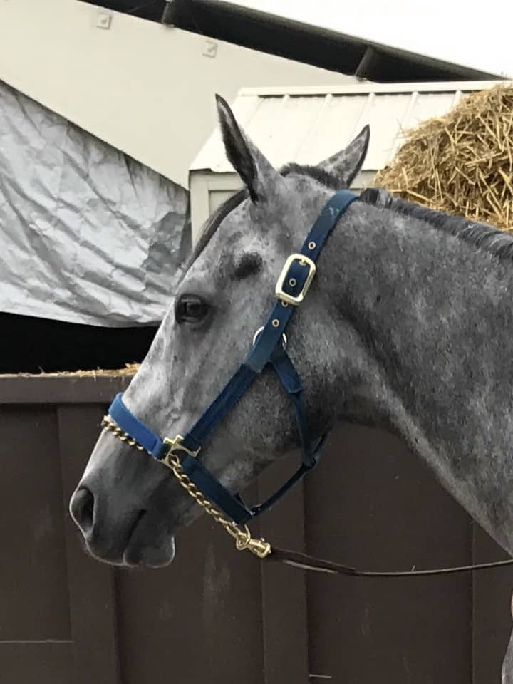 """Rum"" - Dappled Gray Thoroughbred Horse For Sale"