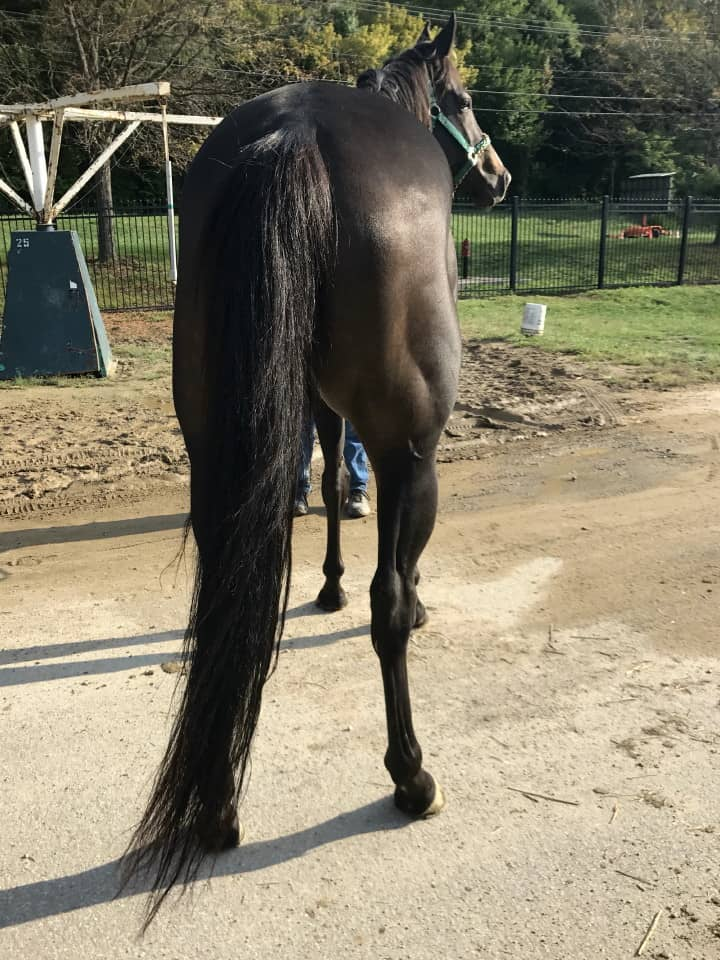 My Prize Black Thoroughbred Horse For Sale Bits Bytes Farm 20170920 004