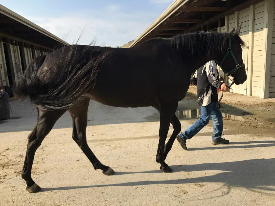 My Prize Black Thoroughbred Horse For Sale Bits Bytes Farm 20170920 018