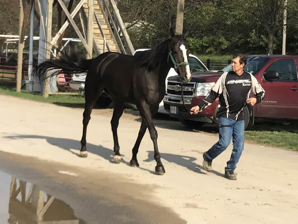 My Prize Black Thoroughbred Horse For Sale Bits Bytes Farm 20170920 020