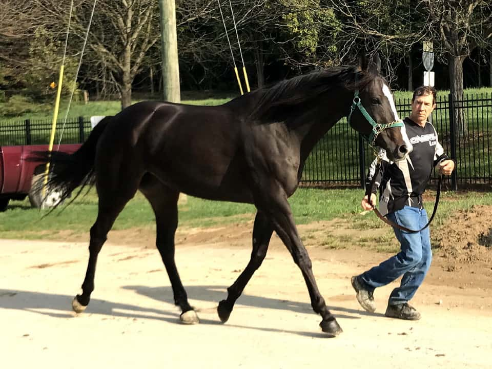 My Prize Black Thoroughbred Horse For Sale Bits Bytes Farm 20170920 022
