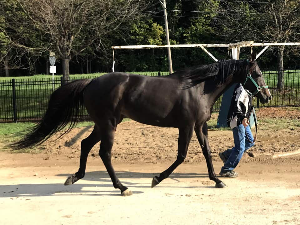 My Prize Black Thoroughbred Horse For Sale Bits Bytes Farm 20170920 023