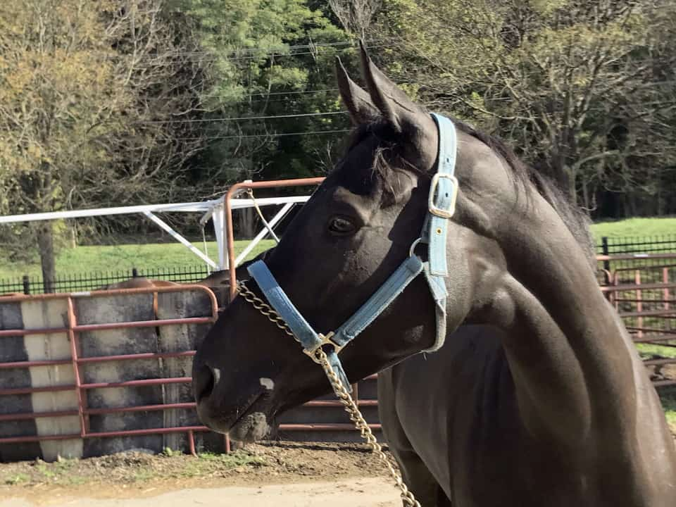 Vhaar She Goes Thoroughbred Mare For Sale 20170915 009
