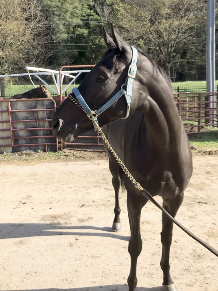 Vhaar She Goes Thoroughbred Mare For Sale 20170915 010