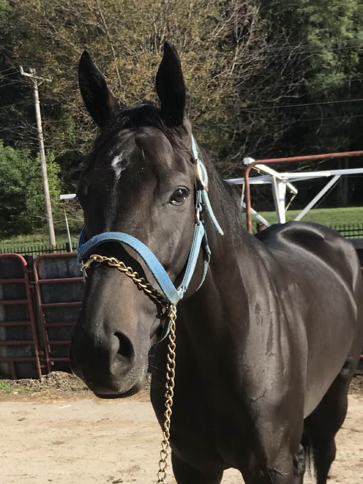 Vhaar She Goes Thoroughbred Mare For Sale 20170915 011