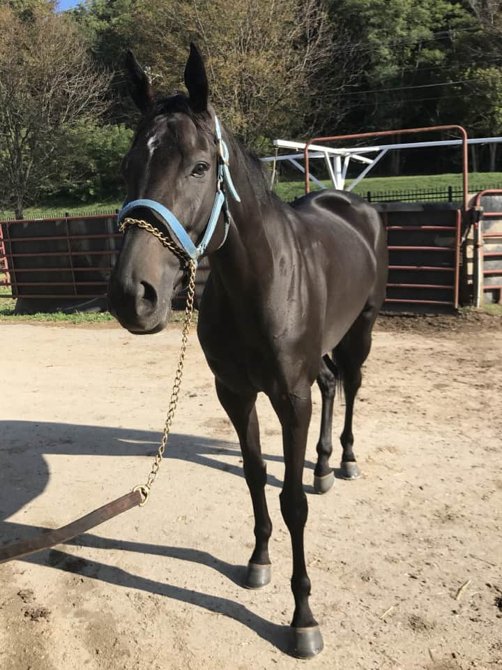 Vhaar She Goes Thoroughbred Mare For Sale 20170915 012