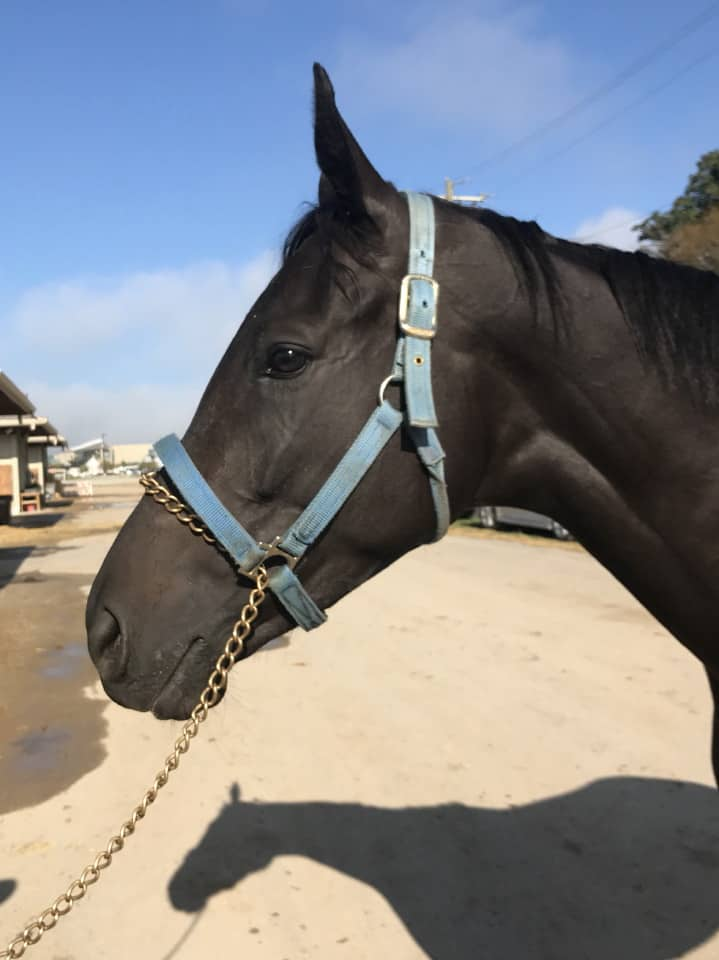 Vhaar She Goes Thoroughbred Mare For Sale 20170915 013